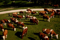 The ride goes over varied terrain--including a herd of cows