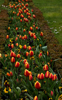 Tulips; the Tulip Festival begins on April 2