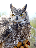 Great horned owl at the Arizona Sonoran Desert Museum